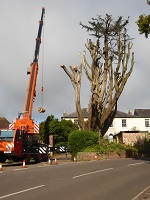 Taking down macrocarpa tree